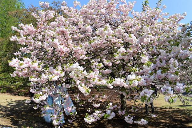 桜の中に。。。??