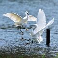 白鷺の戯れ