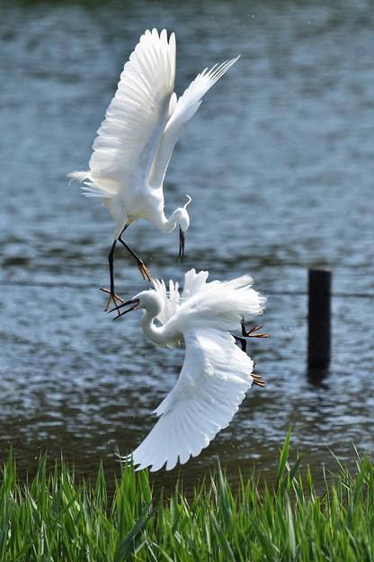 白鷺の戯れ2