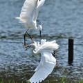 Photos: 白鷺の戯れ2