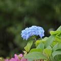 Photos: 雨アジサイ