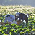 Photos: キャベツ収穫作業1