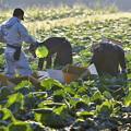 キャベツ収穫作業2