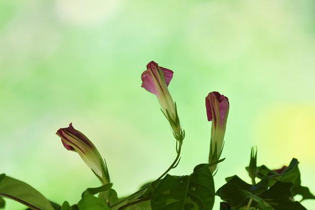 明日咲きます。。