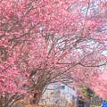 Photos: 786 桜川のオカメ桜