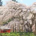 Photos: 小生瀬地蔵桜 大子町