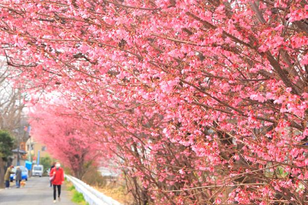 786 桜川のオカメ桜