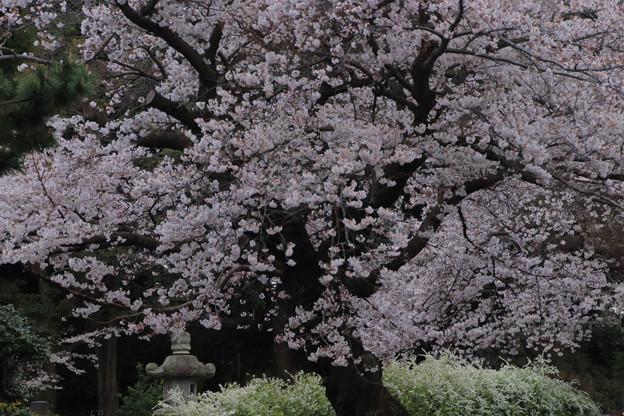 676 鏡徳寺の桜
