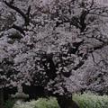 Photos: 676 鏡徳寺の桜