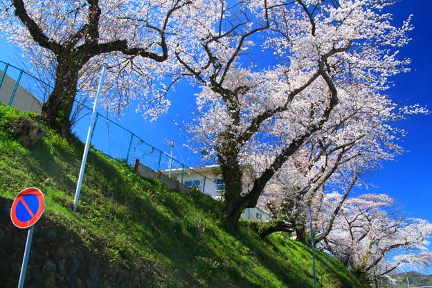 617 諏訪台の桜