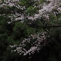 196 石尊山の桜並木