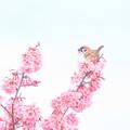 Photos: 桜川のオカメ桜