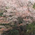 158 黒磯稲荷神社のヤマザクラ