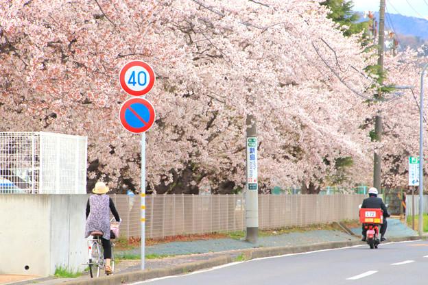 743 多賀中学校の桜並木