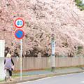 Photos: 743 多賀中学校の桜並木