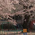 571 中里小学校の桜