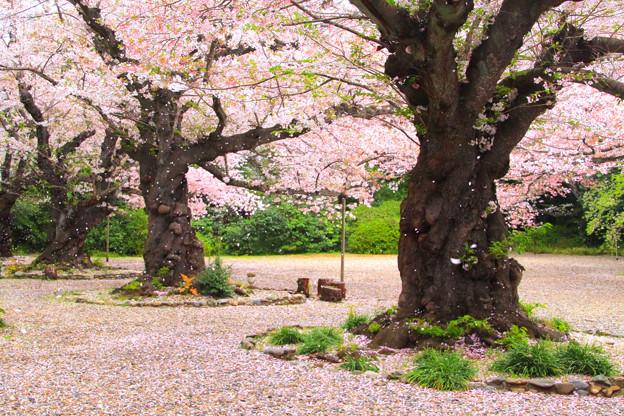 613 熊野神社の桜 日立市