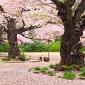 Photos: 613 熊野神社の桜 日立市