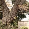 676 鏡徳寺のヤマザクラ