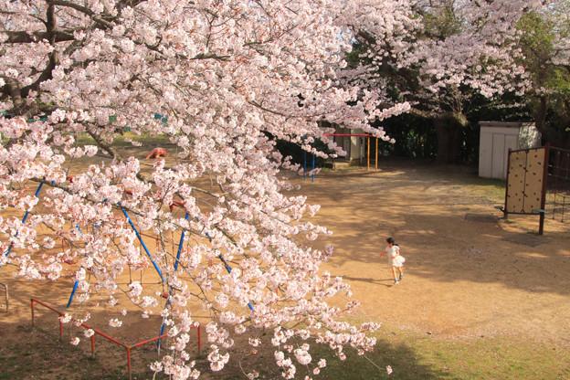 914 まえはら児童公園の桜