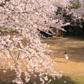 898 まえはら児童公園の桜