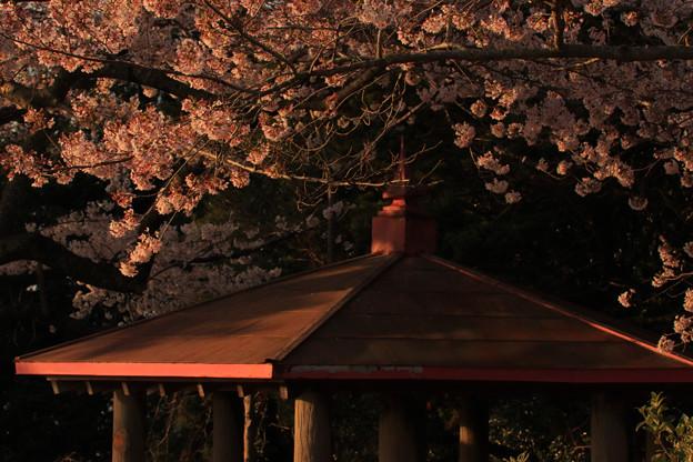 619 東平霊園の桜