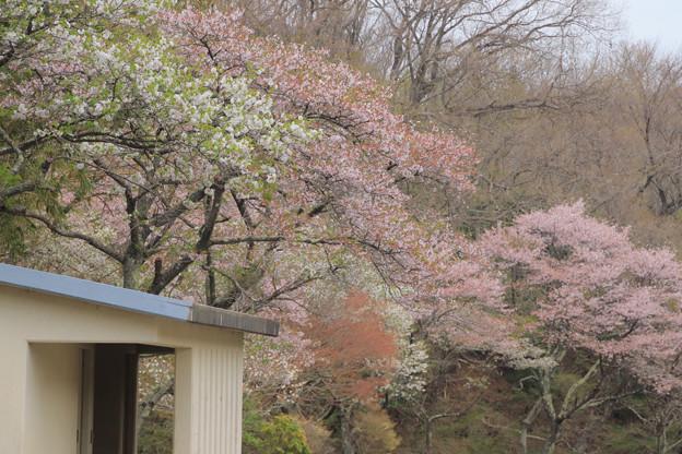 519 中里スポーツ広場の桜