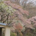 Photos: 519 中里スポーツ広場の桜
