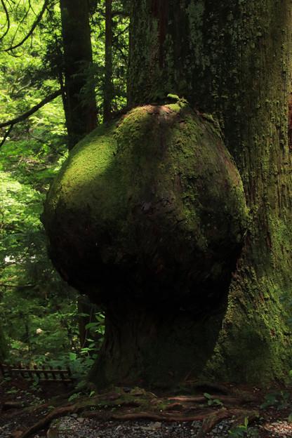 Photos: コブ杉 花園神社