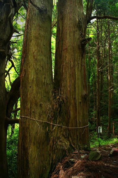 Photos: 真弓山の夫婦杉