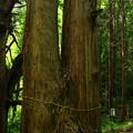 真弓山の夫婦杉