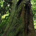 真弓神社の爺杉