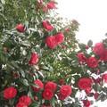 Photos: 満開の椿は美しい♪