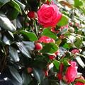 Photos: 紅乙女椿の花と蕾♪