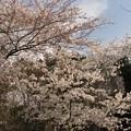 Photos: 桜♪