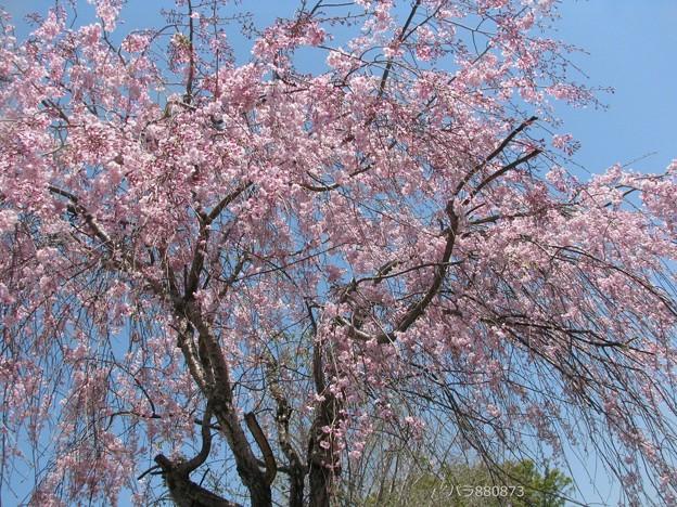 青空に枝垂れ桜♪
