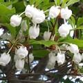 下からドウダンツツジの花見♪