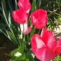 並んだチューリップの花が♪