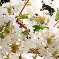 Photos: 満開のサルスベリの花♪