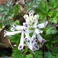 Photos: シロバナヤブケマンの花♪