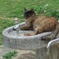 水飲み場を占領する猫