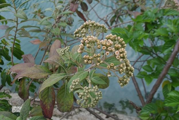 タワダギクの花【再アップロード】