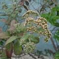 Photos: タワダギクの花【再アップロード】