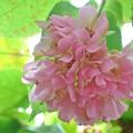 Photos: 名残りのピンクボール【再アップロード】