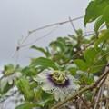 パッションフルーツの花が咲くのが早い年