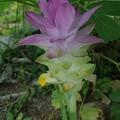 ウコンの花の季節