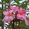花の金曜日を煽るプルメリア
