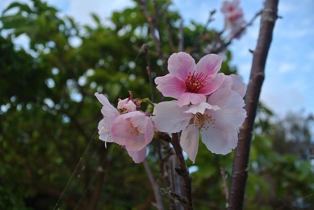 今年も4月下旬に咲いた陽光桜