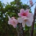 Photos: 今年も4月下旬に咲いた陽光桜