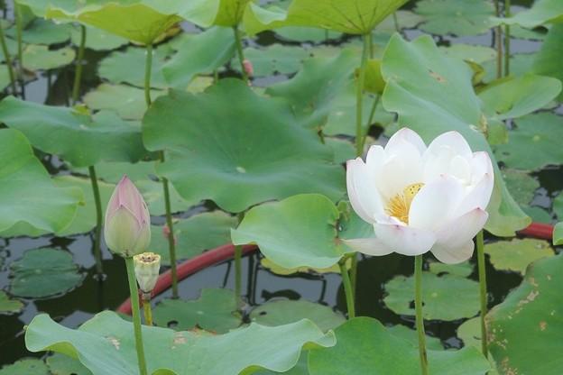 蓮の花も花盛り